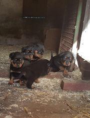 Rottweiler Welpen zu