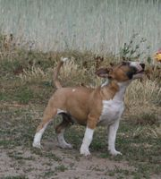 MTB miniature Bullterrier