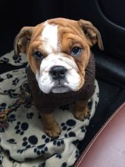 englische Bulldogge Emma