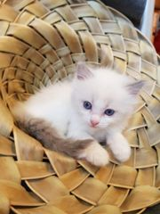 Reinrassige Ragdoll Kitten mit Papieren