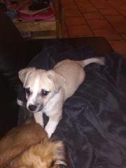 Hundewelpen 8Wochen, Chihuahua /