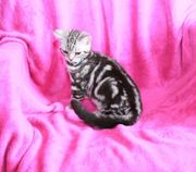 silver tabby classic