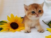 Wunderschöne BKH Kitten Kätzchen mit