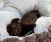 super süße Chihuahua langhaar Hündin