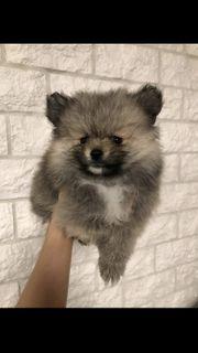 Mini Pomeranian Welpen Weibchen