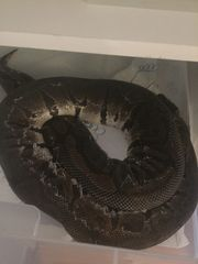 Ich verschenken meine Pythons