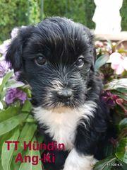 8 Tibet Terrier