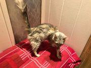 Tüksich Angora Katze 6 Jahre
