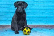 Labrador Retriever FCI VDH certyficate