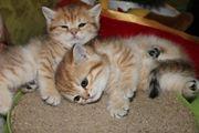 BKH Kitten Golden