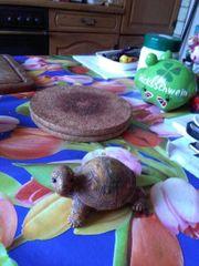 Eine braune Schildkröte aus Ton