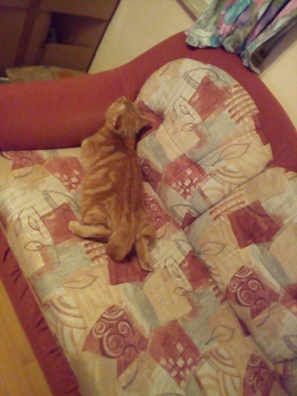 Verschmuste Katze Kater rot - Marktredwitz - Europäisch KurzhaarerwachsenMein lieber treuer Kater sucht ein neues gutes Zuhause. Ist 1,5 Jahre alt, entwurmt und geimpft, nicht kastriert. Nicht als Alleinkatze geeignet. Benötigt unbedingt Freigang. Tel. 09231 879638. Weitere Angaben: - Marktredwitz