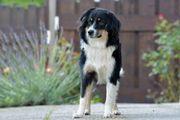 Mini Aussie Junghund