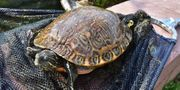 2 Wasserschildkröten Hieroglyphen Schildkoröten