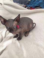 Sphynx Kitten kanadischen