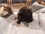 Crested Meerschweinchen Baby