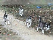 Reinrassige Siberian Husky Welpen zki