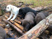 Reinrassige Labrador Welpen abgabebereit
