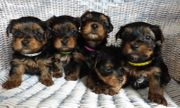 Süße Yorkshire Terrier Welpen zum