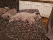 BKH Kitten -abholbereit-
