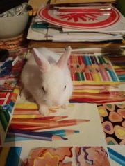 Kaninchen Hermelin