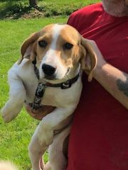 Ronni 10 Monate Beagle Rüde