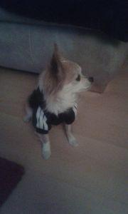 Chihuahua-Rüde sucht