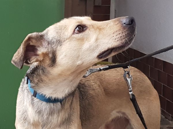 AKI - Windhund Mischling ( » Hunde