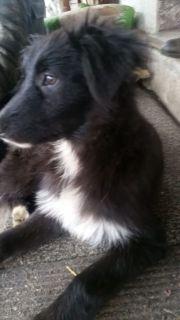 Australien Shepherd- Schafspudel (