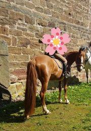 Reit-Pony-Stute