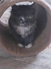 3 Maine Coon Mix Kitten