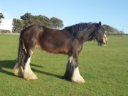 Suche Shire Horse