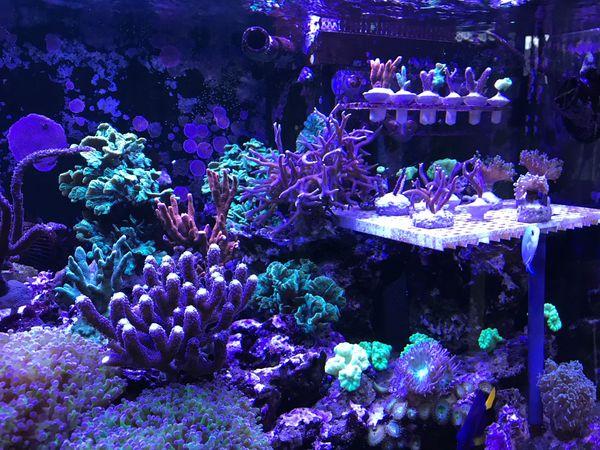 Korallenableger Korallen Meerwasser Aquarium