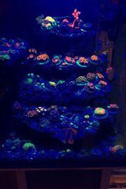 zoa Zoanthus Meerwasser