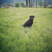Lieber Labrador