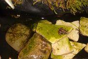 Nachzuchten Epipetobates tricolor