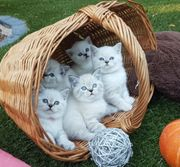 Traumhaften BKH Kitten Babys Katzen