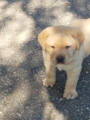 Gelbe Labradorwelpen suchen