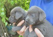 Bildschöne silber- Labrador -