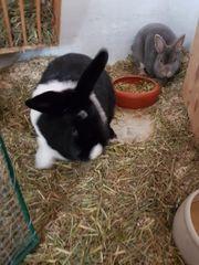 2 Häschen Kaninchen