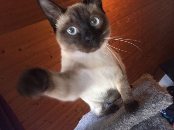 Reinrassiger Siamkater 6monate - Knittlingen - SiamkatzejungMeine Siamdame Luna bekam am 08.06.18 fünf reinrassige Kitten zur Welt.Der kleine Mann ist der letzte und ist schweren Herzens bereit zum ausziehen.Er ist seeehr anhänglich sucht immer die Nähe zum Menschen. Neugierig und ver - Knittlingen
