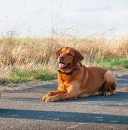 Labrador Deckrüde foxred