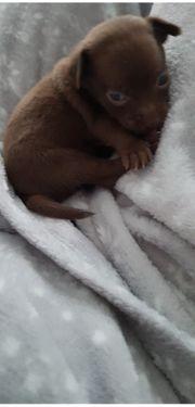 Chihuahua welpen mix