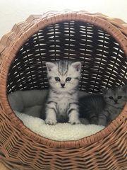 bkh katzen kitten