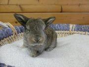 junges Kaninchen Zwergkaninchen Zwergwidder Baby