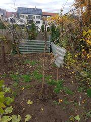 1 zwetschgenbaum obstbaum