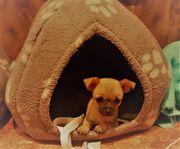 Mini Chihuahua Rüde sucht ein