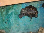 Chinesische Dreikielschildkröte komplett mit Aquarium