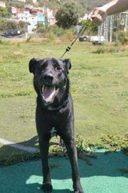 Labrador-Mischling, Junghund