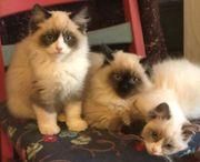 Zauberhafte Ragdoll Kitten
